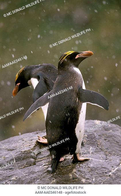 Macaroni Penguin (Eudyptes chrysolophus) in snow. So. Georgia Island