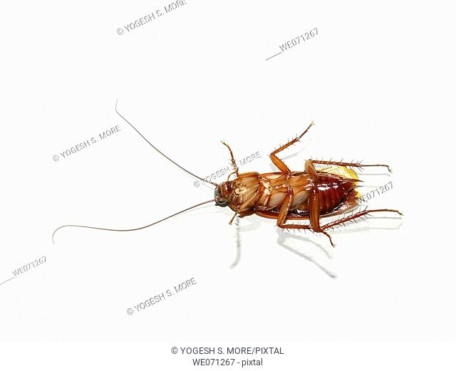 Cockroach. Cockroaches (or simply 'roaches') are insects of the order Blattodea. This name derives from the Latin word for 'cockroach', blatta