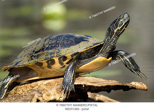 Turtle sunning on log - pond slider