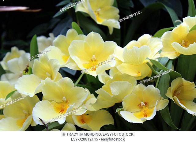 Close up of a blooming cluster of yellow Miltonia orchids