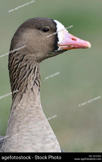 Greater White-fronted Goose / Blaessgans ( Anser albifrons ) detailed close-up, portrait, headshot, frontal view, wildlife, Europe