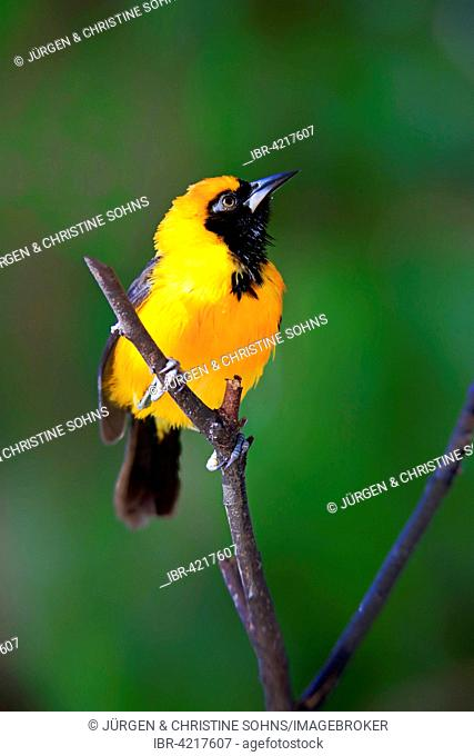 Orange-backed troupial (Icterus croconotus), adult on the lookout, Pantanal, Mato Grosso, Brazil