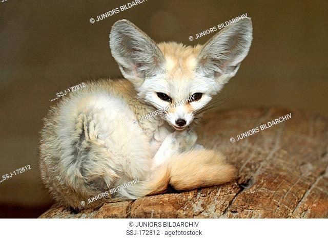 Fennec Fox (Vulpes zerda, Fennecus zerda), curled up