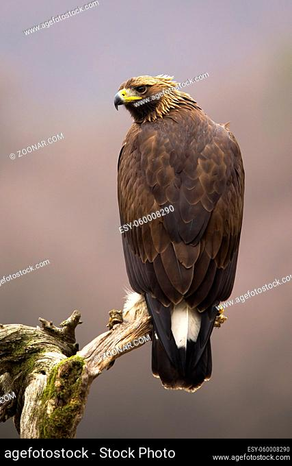 Impressive golden eagle, aquila chrysaetos, sitting on a branch in vertical composition from rear view. Brown bird of prey with sharp beak turning around over...