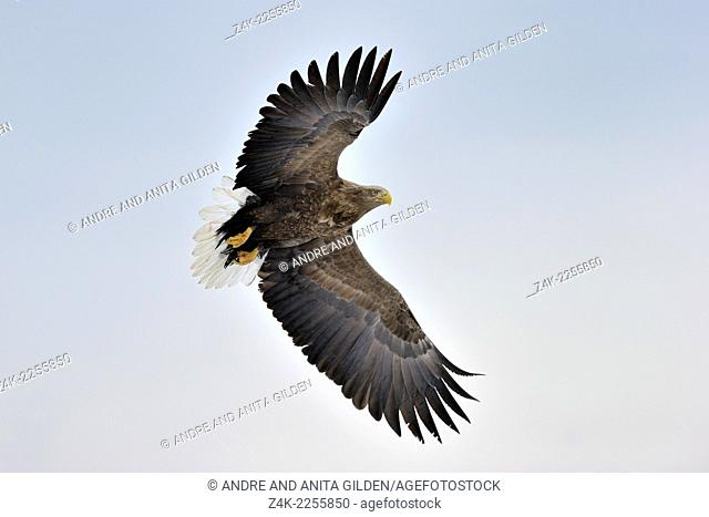 White-tailed Eagle (Haliaeetus albicilla) in flight against sky