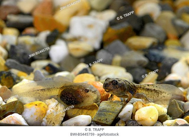 Yunnan firebelly toad, Large-webbed bell toad (Bombina maxima), two tadpoles, China