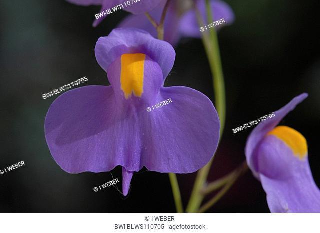 Long Leaf Bladderwort Utricularia longifolia Carnivorous Plant