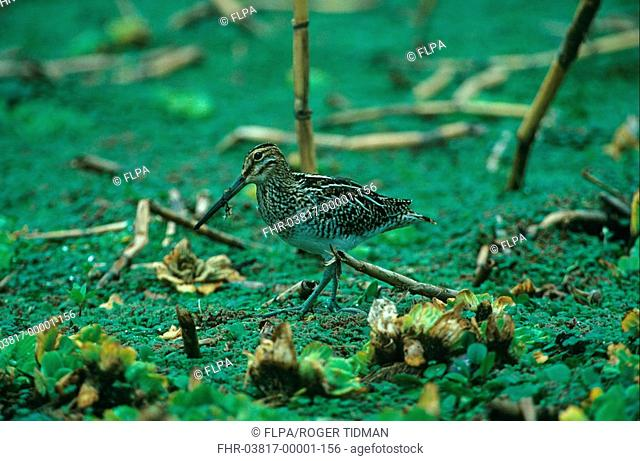 South American Snipe Gallinago paraguaiae Walking with vegetation on beak