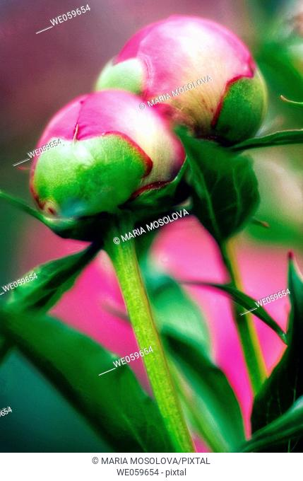Two Pink Peony Buds. Paeonia lactiflora. May 2006, Maryland, USA