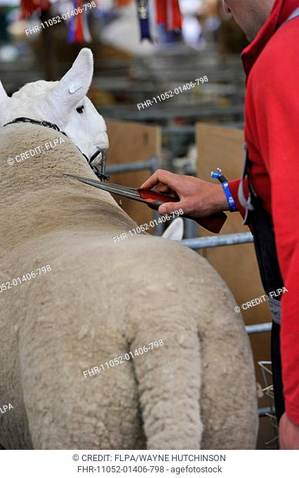 Domestic Sheep, adult, being clipped at show, Royal Highland Show, Ingliston, Edinburgh, Scotland, June 2015