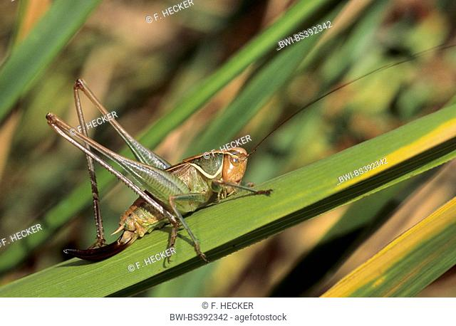 Sepia bushcricket, Sepia Bush-cricket, Sepia Bush cricket (Sepiana sepium, Platycleis sepium, Metrioptera sepium), female