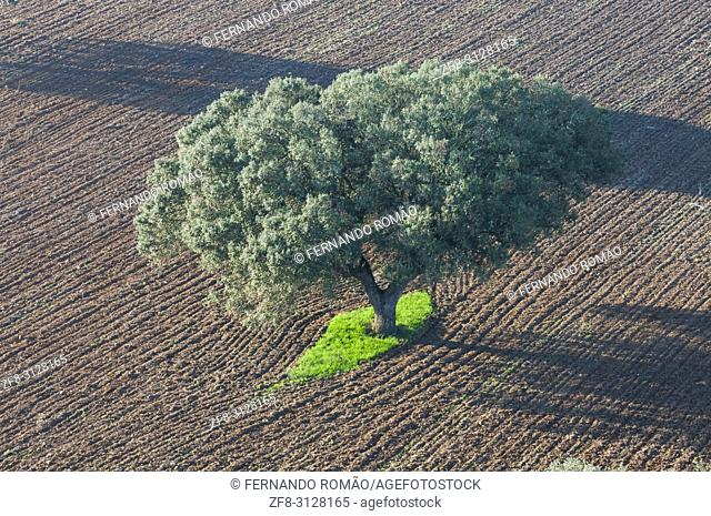 Olive tree in plowed field at alentejo region, Portugal