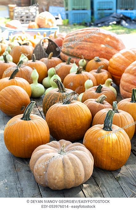 Variety of many pumpkins on the market. Different types pumpkins arranged on wooden table. Pumpkin background. Halloween graphic resources