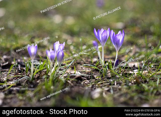 24 February 2021, Saxony-Anhalt, Magdeburg: Crocuses are blooming in a green area. Due to the persistent spring-like temperatures