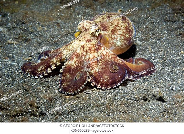 Veined octopus (Octopus marginatus).  This octopus can bury in sand or mud but frequently hides in large shells or pieces of discarded coconut shells