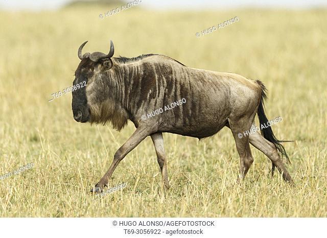 Blue wildebeest running during the great migration. Connochaetes taurinus., Common wildebeest, white-bearded wildebeest or brindled gnu. Kenia. Africa