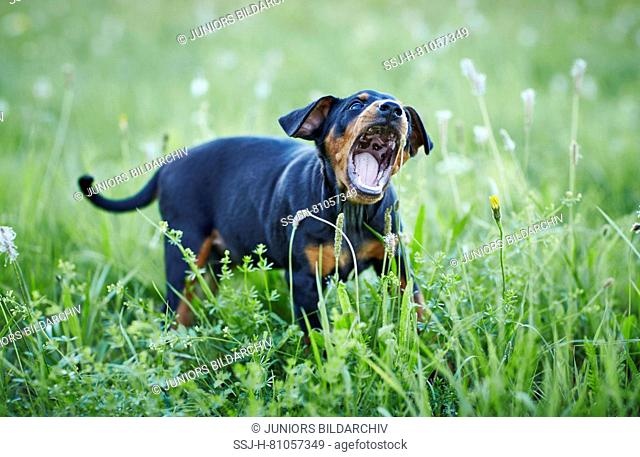 German Pinscher. Puppy standing in a meadow, chewing on Plantain flowers. Germany