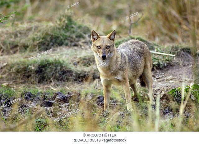 Golden Jackal Keoladeo Ghana national park Rajasthan India Canis aureus