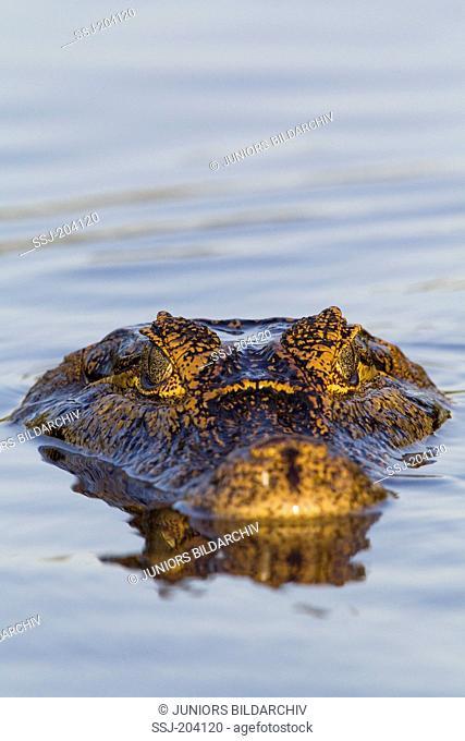 Yacare Caiman (Caiman yacare) drifting in water. Pantanal, Brazil