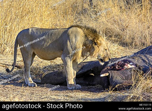 Masai lion or East African lion (Panthera leo nubica syn. Panthera leo massaica) with an African bush elephant (Loxodonta africana) that they have killed
