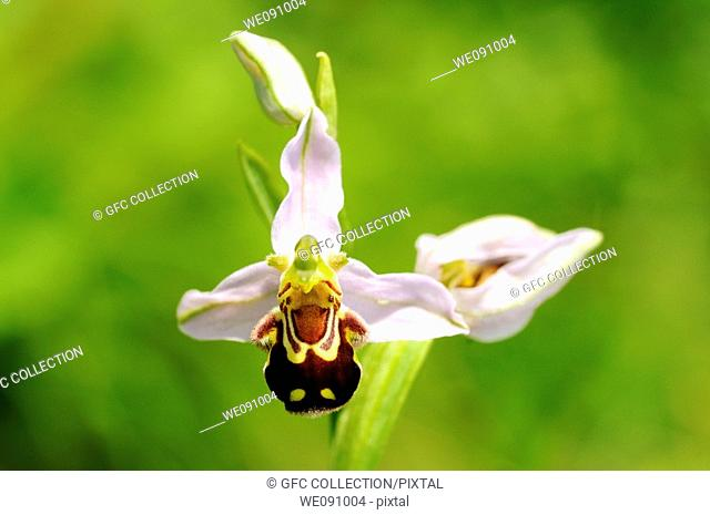 Bee Orchid, Ophrys apifera, Orchid