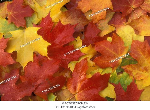 autumn, maple leaves, A cluster of colorful maple leaves (red, yellow, green, orange) lay on the ground