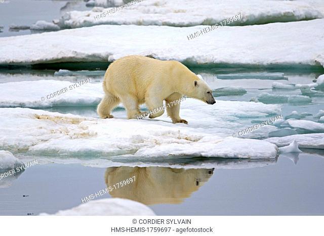 Russia, Chukotka autonomous district, Wrangel island, Polar bear (Ursus maritimus), Adult, female