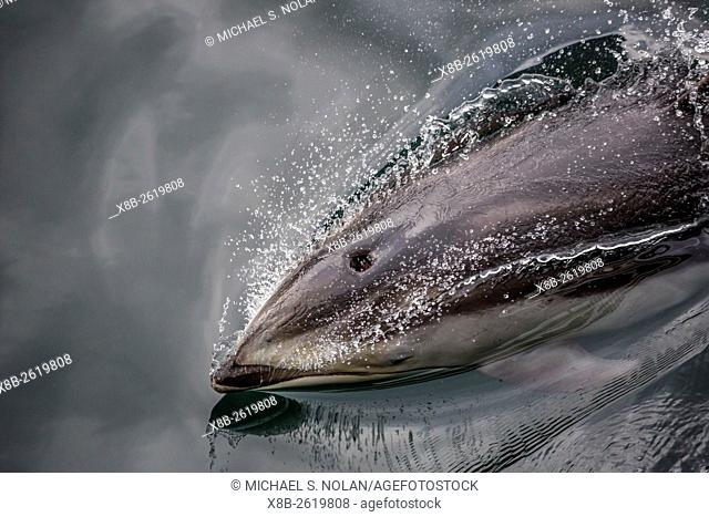 Pacific white-sided dolphin, Lagenorhynchus obliquidens, surfacing in Johnstone Strait, British Columbia, Canada