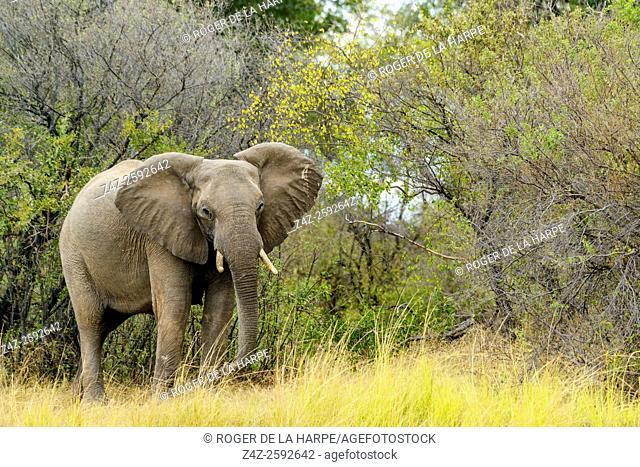 African bush elephant (Loxodonta africana). Victoria Falls. Zambia