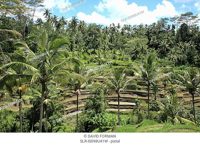Rice fields and palm trees in bali