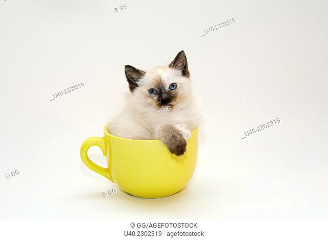 Birman Kitten in coffee cup