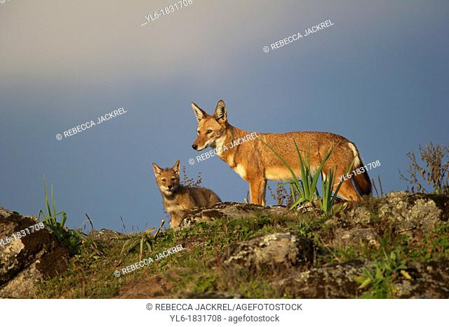 Ethiopian wolf adult and pup scanning for danger