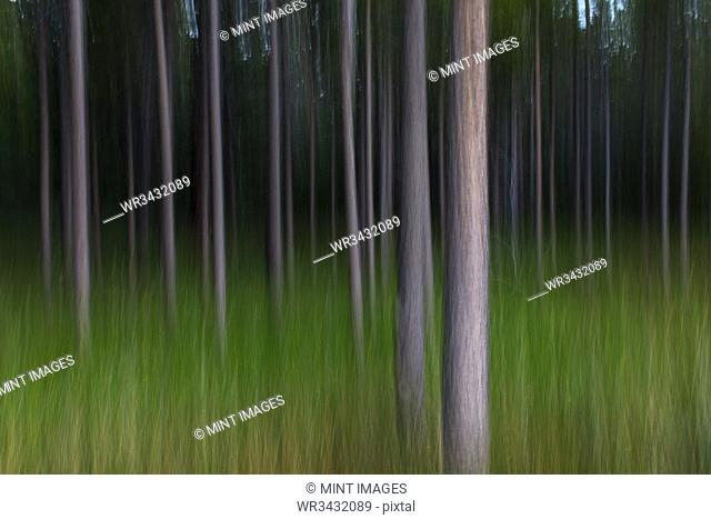 Blurred motion abstract of lodgepole pine forest and meadow