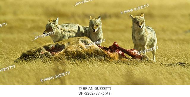 Coyotes Canis Latrans Around The Carcass Of An Elk, Colorado United States Of America