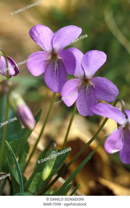 viola hirta flowers, alzano lombardo, italy