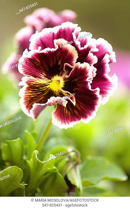 Ruffled Bordo Pansy Flower. Viola x wittrockiana