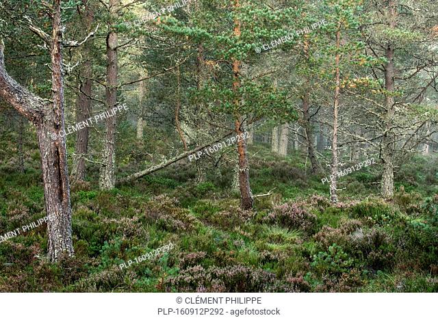 Scots Pine (Pinus sylvestris) trees in coniferous woodland, Abernethy Forest, remnant of the Caledonian Forest in Strathspey, Scotland
