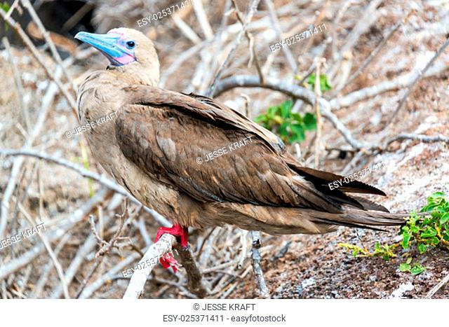 View of a brown morph Red Footed Booby on Genovesa in the Galapagos Islands