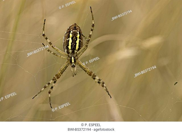 Black-and-yellow argiope, Black-and-yellow garden spider (Argiope bruennichi), spider in a web, Nahaufnahme, France