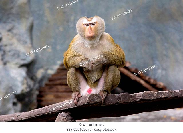 image of Rhesus Macaque monkey in thailand