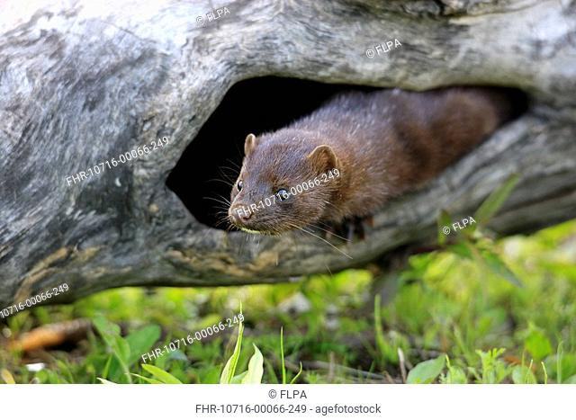American Mink Mustela vison adult, at den in hollow log, Minnesota, U S A