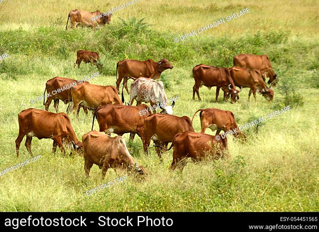 India. Cows and bulls are grazing on a lush grass field