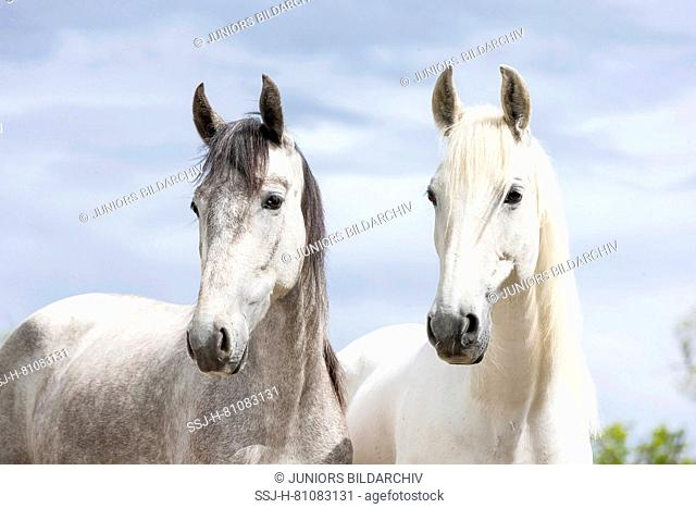 Pure Spanish Horse, Andalusian. Portrait of pair of gray mares on a pasture. Switzerland