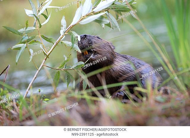 Beaver (Castor fiber), feeding on leaves of willow, Bavaria, Germany