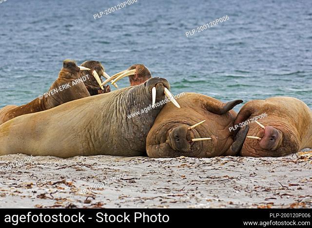 Group of walruses (Odobenus rosmarus) resting on beach, Svalbard / Spitsbergen, Norway