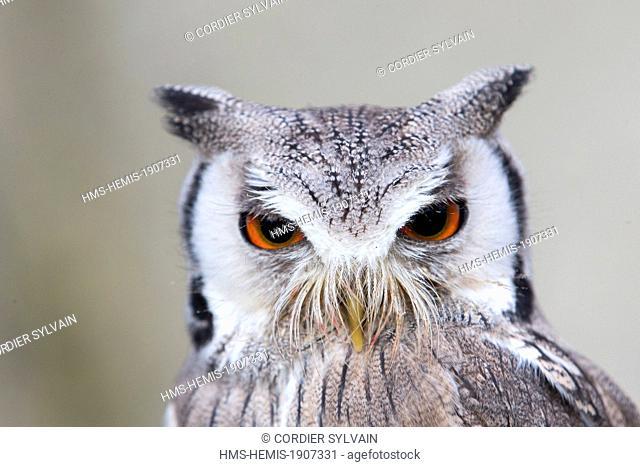 France, Loiret, Sologne, Ligny le Ribault, Northern White faced Owl (Ptilopsis leucotis), White faced Scops Owl