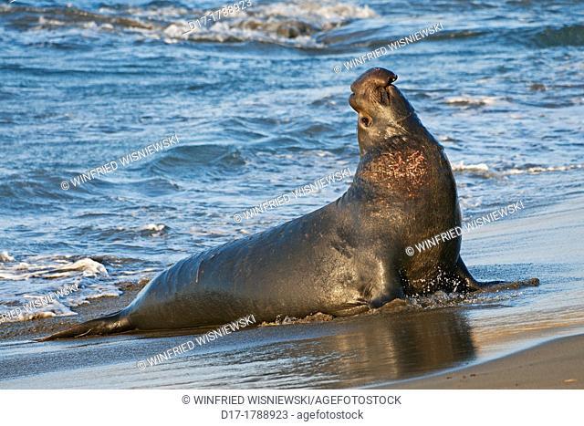 Northern elephant-seal-bull (Mirounga angustirostris) at the beach of San-Simeon, California, USA