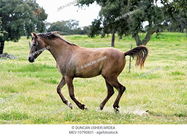 Arabic Horse - frolicking on meadow