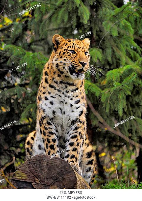 Amur leopard (Panthera pardus orientalis), sitting on a tree trunk
