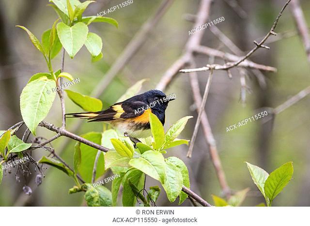 Male American Redstart (Setophaga ruticilla), Prince Edward Point National Wildlife Area, Ontario, Canada